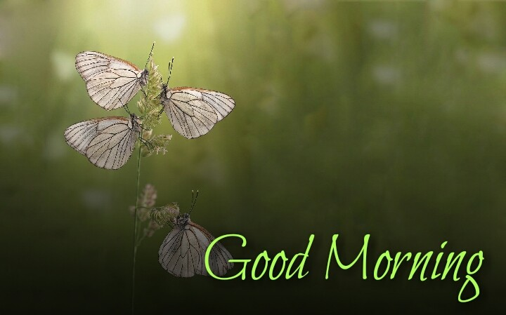 4 butterfly flying morning wishes images
