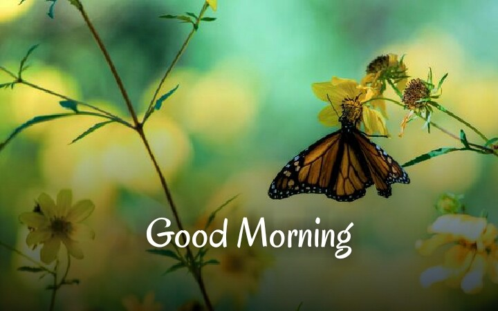 a butterfly sat on yellow flower wishing good morning
