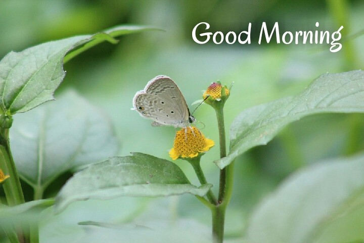 white butterfly with sunflower written good morning