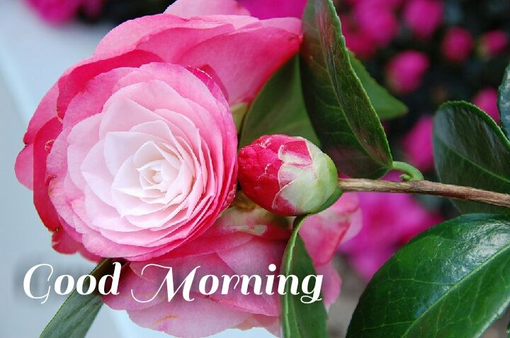 pink roses good morning images with leave