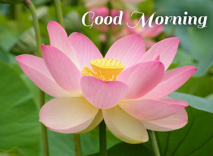 Pink lotus in water morning images