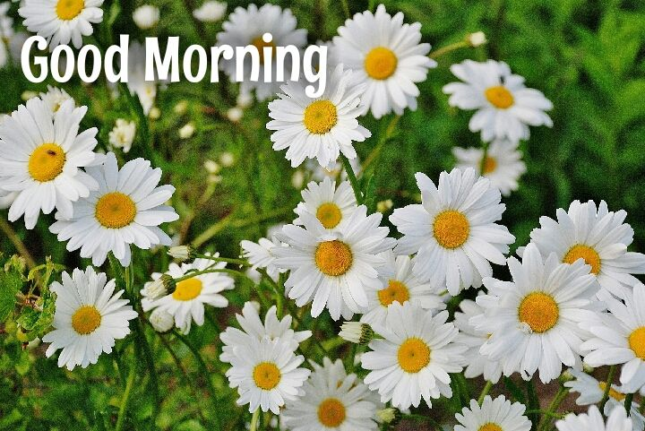 white flower with yellow sade morning wishes images