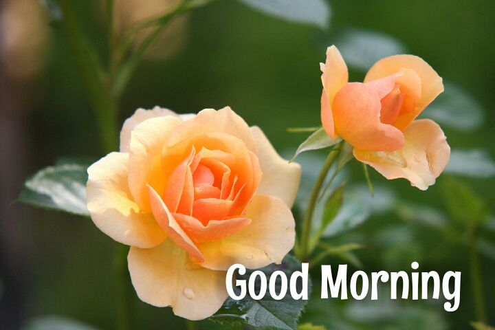 2 orange rosegood morning wishes images
