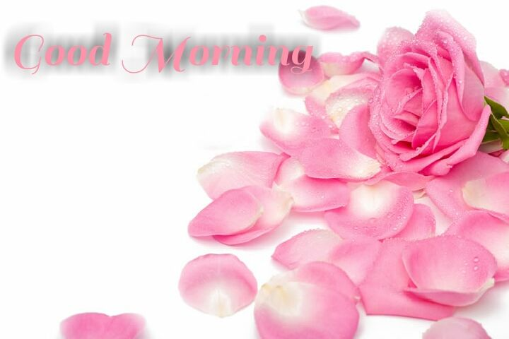 pink rose good morning wishes