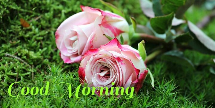 pink white roses with leave morning wishes