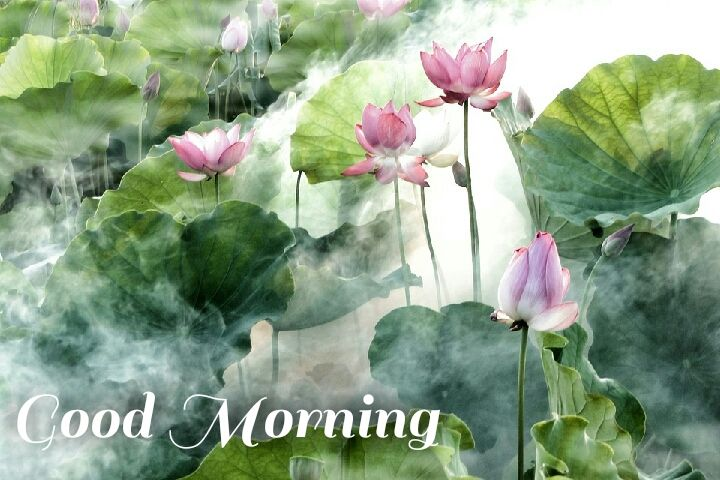 Lotus flowers in water good morning images wishes